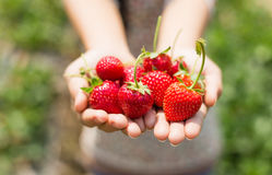 Strawberry on woman hands Stock Image