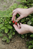 Strawberry in woman's hands. Woman's hands holding fresh wild strawberries in the garden Royalty Free Stock Image