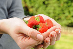 Strawberry in womans palms Stock Image