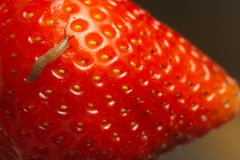 Strawberry with worm Stock Photography