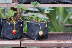 Strawberry young. Young strawberry in a black bag,Young plant put on a wooden shelf Royalty Free Stock Photography