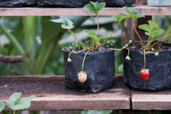 Strawberry young. Young strawberry in a black bag,Young plant put on a wooden shelf Stock Photos