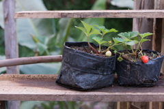 Strawberry young. Young strawberry in a black bag,Young plant put on a wooden shelf Stock Image