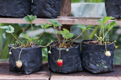 Strawberry young. Young strawberry in a black bag,Young plant put on a wooden shelf Stock Images