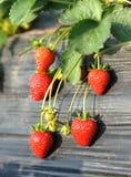 strawberrys Royaltyfria Bilder