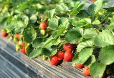 strawberrys Arkivfoton