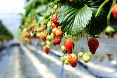 Strawberrys en un invernadero Foto de archivo