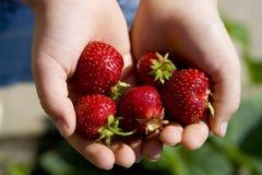 Strawberrys in handen Royalty-vrije Stock Afbeeldingen