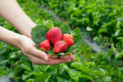 Strawberrys on leaf in the hands Stock Photo