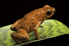 Strawbery毒物箭青蛙哥斯达黎加 库存图片