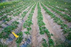 Strawbery-Feld Stockfoto