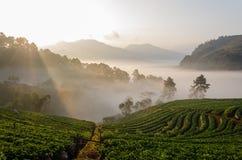 Strawbery-Garten auf dem Berghang am Morgen Lizenzfreies Stockbild