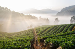 Strawbery-Garten auf dem Berghang am Morgen Lizenzfreie Stockbilder