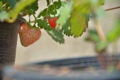 Strawbery im Topf sind wachsend lizenzfreie stockfotografie