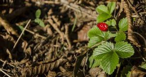 Strawberyen Royaltyfria Foton
