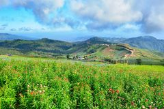 Strawflower领域 库存图片
