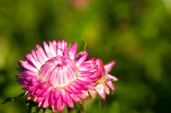 Free Strawflower Royalty Free Stock Image - 29806406