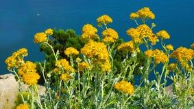strawflower Στοκ Εικόνα