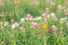 strawflower 免版税库存照片