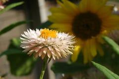 strawflower Foto de archivo libre de regalías
