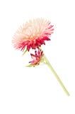 Strawflower con il gambo su un fondo bianco Fotografia Stock Libera da Diritti