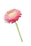 Strawflower con il gambo su un fondo bianco Fotografie Stock