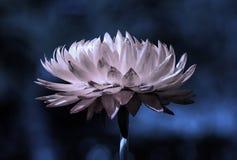 Strawflower en la noche Imagenes de archivo
