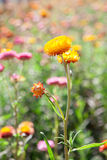 Strawflower field in Thailand Stock Photo