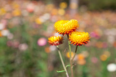 Strawflower field in Thailand Stock Images