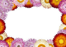 Strawflower Frame with White Background Royalty Free Stock Images