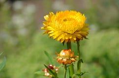 Strawflower or Golden Everlasting (Xerochrysum bracteatum) Royalty Free Stock Photography