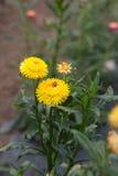 Strawflower - imagem conservada em estoque Imagens de Stock