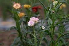 Strawflower - imagem conservada em estoque Imagens de Stock Royalty Free