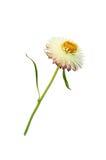 Strawflower med stjälk på en vit bakgrund Royaltyfria Bilder