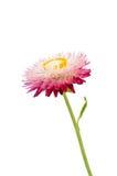 Strawflower med stjälk på en vit bakgrund Royaltyfri Foto