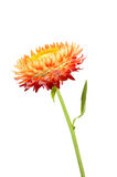 Strawflower med stjälk på en vit bakgrund Arkivfoton