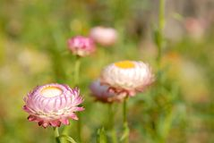 Strawflower Stock Image