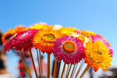 Strawflower at Phuhin rongkla Stock Image