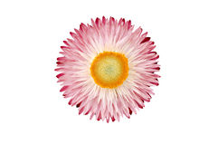 Strawflower plant (Xerochrysum Bracteatum) isolated from the bac Royalty Free Stock Photos