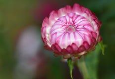 Strawflower pourpré Image libre de droits