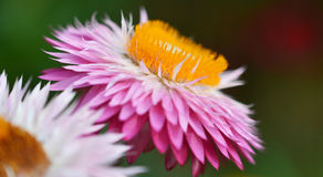 Strawflower pourpré Images stock
