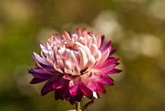Strawflower Stock Photo