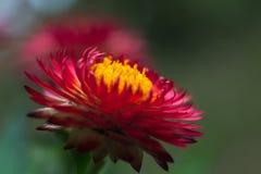Strawflower rojo 5 foto de archivo libre de regalías
