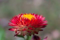 Strawflower rojo 2 foto de archivo libre de regalías