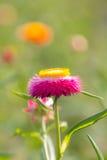 Strawflower rosa Immagine Stock
