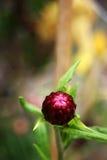Strawflower rosado cerrado Imágenes de archivo libres de regalías