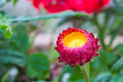 Strawflower rouge Photographie stock