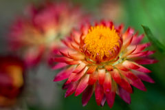 Strawflower rouge 7 Photo libre de droits
