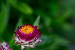 Strawflower rouge 8 Images stock