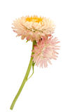 Strawflower with stalk on a white background Royalty Free Stock Photo